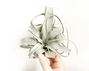 The Xerographica  Air Plant - Tillandsia - Air Plant  - Airplant - Terrarium - Tilly - Air Plants - Epiphyte - Plant - Modern - Home -