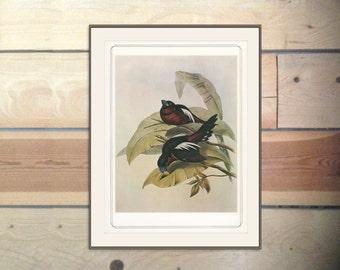 Black & Red Broadbill, Vintage Bird Print 1979/98 John Gould 1830s Natural History Birds Ornithology Print Woodland Library Decor