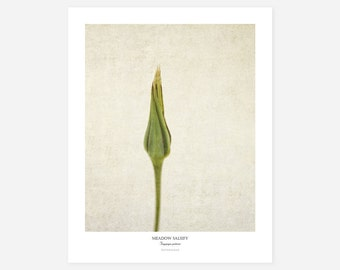 Meadow Salsify Original Art Print - Botanical Wall Art - Flower Poster - Large Botanical Print