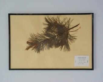 Vintage 1968 botanical specimen by Maine arborist - Eastern White Pine