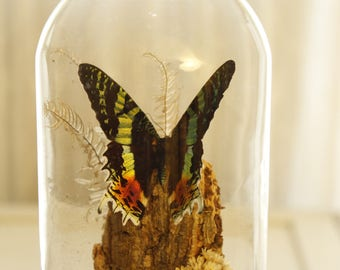 Vintage Glass Dome Butterfly, Natural history display, Butterfly Specimen on flowers in Glass Dome, Glass Cloth, Sunset Moth, Wood Base