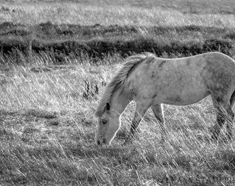 The Horses of Iceland  - Icelandic Horse Panoramic Fine Art Black and White Print