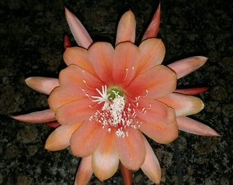 Beautiful Epiphyllum KING MIDAS Cutting Great Color Lg Flower Orchid Cactus