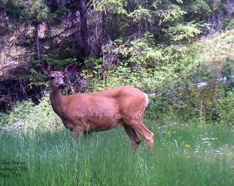Mule Deer Doe, Mule deer decor, Doe decor, bland cards, note cards, Ellen Strope, deer decor