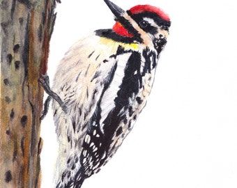 Yellow bellied Sapsucker Print of Watercolor Painting, animal,bird wildlife,woodpecker,nature,woodpecker painting,sapsucker,bird lover