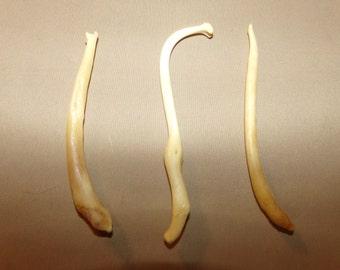 3 Real animal coon broke bone organ taxidermy weird craft supply part raccoon penis