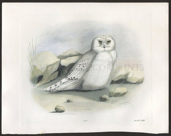 Snowy Owl Print, Hand Coloured Ornithological Print, Antique Birds of Prey by Lilian Marguerite Medland Date 1906-1911.