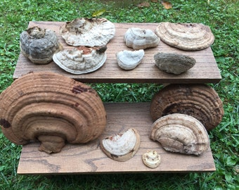 Collection of (12) all natural shelf mushrooms from clean NH woods organic nature display woodland accent
