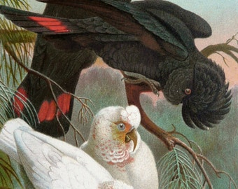 1890 Antique print of COCKATOOS. Black Cockatoos. White Cockatoos. Parrots. Ornithology. Natural History. 127 years old lithograph