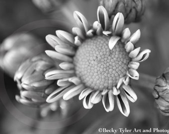 Chrysanthemum Black and White Photograph Fine Art Print