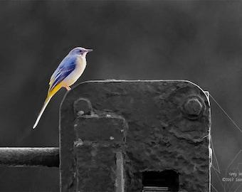 wildlife art print, grey wagtail print, wildlife photography, bird print, bird art prints, nature art print, home décor art, bird wall art