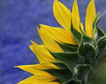 Sunflower, fine art, photograph, Barb Lassa, flower, summer
