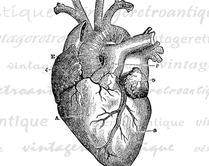 photo relating to Printable Heart Diagram called Electronic Middle Diagram Picture Printable Middle Impression Professional medical Anatomy Art Antique Obtain Classic Clip Artwork Jpg Png Eps HQ 300dpi No.118