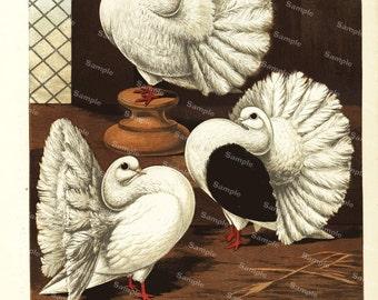 Pigeons Scotch Fantails Antique Natural History Pigeon color lithograph print