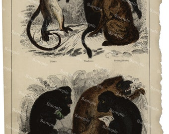 Animal Natural History original hand colored print of Monkeys and baboons over 150 years old Rare find