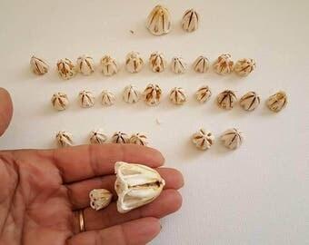 Sea life,  Sailors Valentine Sea urchin's teeth