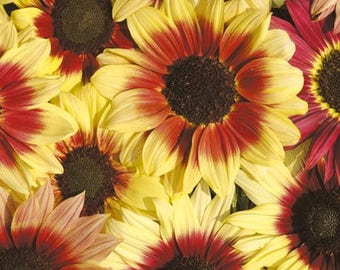 ASU)~MAGIC ROUNDABOUT Hyb. Sunflower~Seed!~~~Wow Bi-color!!