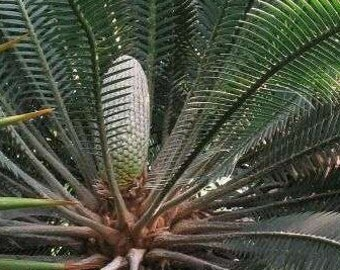 Dioon edule Chestnut Dioon Palm 5 Fresh seeds