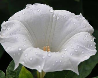 MOON FLOWER - Datura