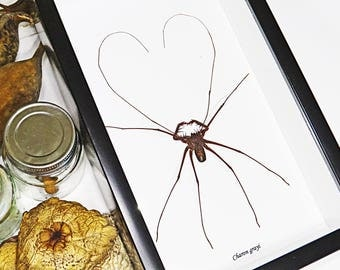 Real taxidermy framed Cave spider Charon grayi shadowbox