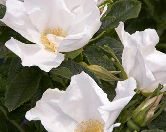 Rosa rugosa alba (Ramaras Rose) - 50 seeds. Vigorous species Rose with luxuriant single, pure white fragrant flowers in summer & autumn.