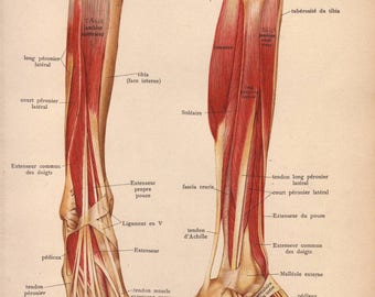 1905 leg muscles, tendons & ligaments print - Human anatomy, foot physiology, medical wall decor - 112 yr old victorian illustration (C575)