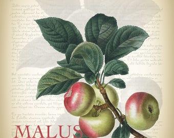 Botanical Art Print - Vintage Botanical Print - Malus Communis Illustration Print - Redoute Botanical Print - Apple Art Print