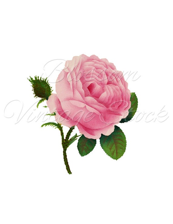 Vintage Rose Clip Art Rose Png Pink Rose Clipart