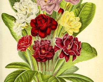flowers-29533 - primula acaulis, Primula vulgaris,  common primrose or English primrose bouquet digital illustration clipart printable image