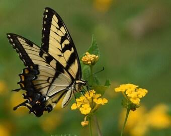 Swallowtail Butterfly on Lantana, 3