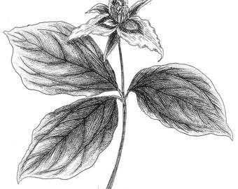 Trillium undulatum (painted trillium) botanical print