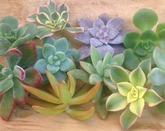 10 Rare Beautiful Rosette Succulent Cuttings