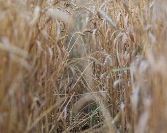 Wheat Field Photo Print (8x10)