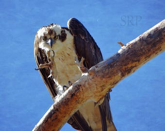 Do You Mind? - INSTANT DOWNLOAD - Osprey in Tree