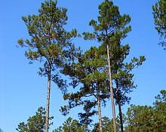 2 Live Loblolly Pine Tree Seedlings- Free US shipping