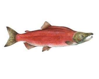 Sockeye Salmon Print