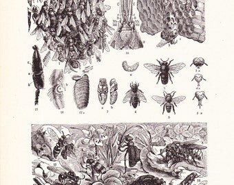 1920s Insect Print - Bees - Vintage Antique Home Decor Book Plate Art Illustration for Framing 95 Years Old