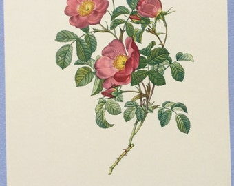 Redoute Botanical print, Pale pink rose print, Rosa Lumila, Rosier d'amour, Pink rosebuds flowers, Wall decor