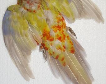 Real taxidermy bird skin feather rosella
