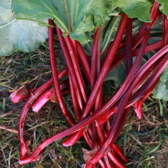 Organic Sunrise Rhubarb 15 Count- Beautiful pink stalks, Grow your own Organics, Grows in all USDA Zones, Non-GMO