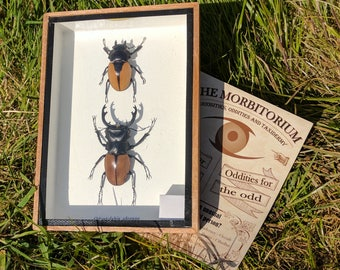Framed stag beetle (Double mount)