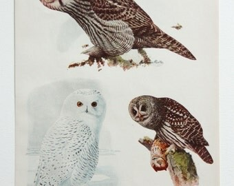 Vintage Print Owl Birds North America Color Book Illustration 1950s