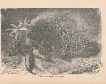 1887 Porcupine Antique Print
