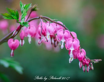 """Pink Flower Photography.Pink.Old-Fashioned Bleeding Hearts.Dangling Locket Flowers.Botanical Print.""""Backyard in Bloom"""".Fine Art Photography."""