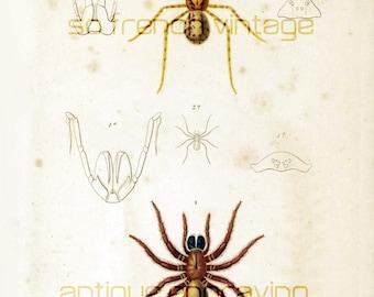 1861 Antique Spider print Orbigny Original Lithograph  Hand colored Zoology Tarantula Mygale Natural History Framing