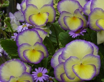 Viola 'Etain' YELLOW & PURPLE Live Plants Perennial Pansy Violet Jump up Showy Fragrant Flowers