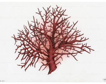 Precious Red Coral Drawing Illustration- Fine Art Print