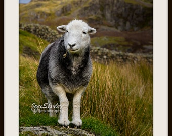 Animal Photography, Mounted Photograph, Fine Art Photography, Herdwick Sheep, Farm Animals