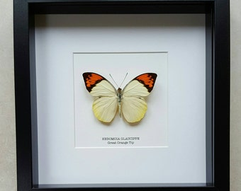 Great Orange Tip Butterfly Frame