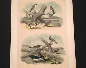 The Cedar Bird - Plate LVI, Original Color Lithograph by Jasper, 1881 Edition of Studer's Birds of North America